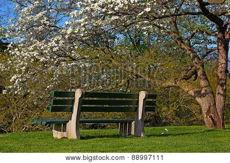 A bench and blossoming dogwood tree on sunny afternoon.