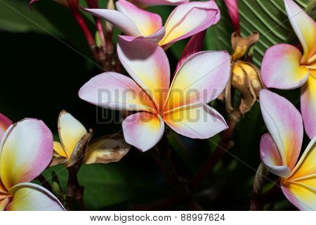 white , pink and yellow Plumeria spp