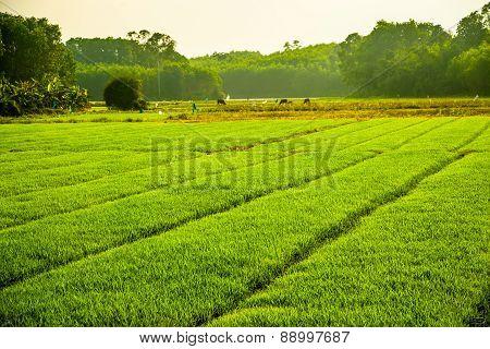 Vast fields of rice