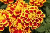 picture of marigold  - Ornamental marigolds - JPG