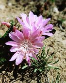 foto of casper  - a summer alpine wildflowerfound on top of 