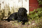 stock photo of seeing eye dog  - Beautiful black Labrador Retriever lying down in front of an old barn - JPG