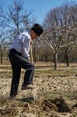 picture of orchard  - Senior man digging a hole to plant a plum tree in an orchard on springtime