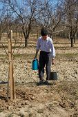 picture of orchard  - Senior farmer wetting the plum tree that he has just planted in an orchard on springtime - JPG