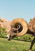 stock photo of ram  - a nice desert bighorn sheep ram in nevada - JPG