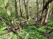 image of fallen  - wild forest with some fallen trunks of trees in spring - JPG