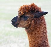 stock photo of alpaca  - Brown alpaca on country ranch with field background - JPG