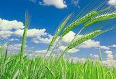 pic of nubian  - green wheat field - JPG