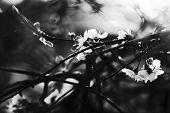 image of black-cherry  - Blossoming branch of cherry in garden - JPG
