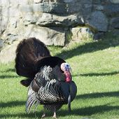 picture of gobbler  - Wild Turkey male also known as a tom or gobbler - JPG