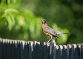 image of bird fence  - American robin  - JPG