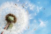 picture of blowing  - Dandelion seeds in the morning sunlight blowing away in the wind across a clear blue sky - JPG