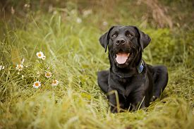 picture of seeing eye dog  - Beautiful black Labrador Retriever lying in the grass - JPG