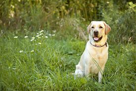 image of seeing eye dog  - Beautiful Yellow Labrador Retriever siting in a meadow - JPG
