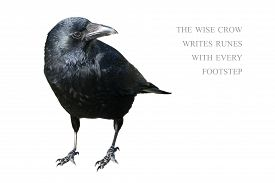 picture of wise  - standing crow isolated on white background sample text in the copy space the wise crow writes runes with every footstep - JPG