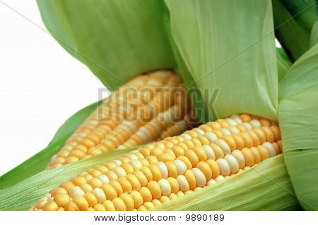 Corn in husks isolated on white