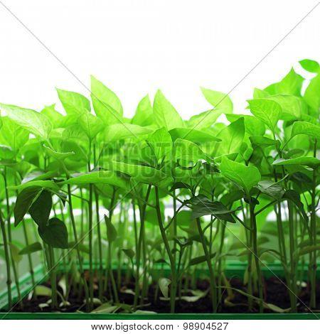 fresh tomato seedlings on the windowsill