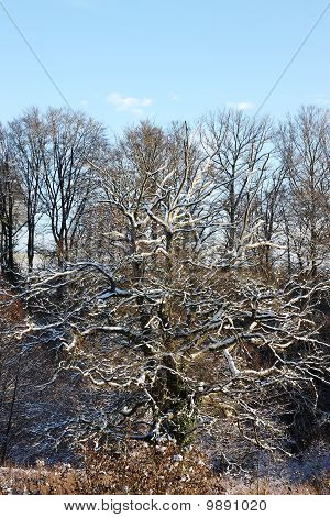 Old Oak Tree In Winter Snow