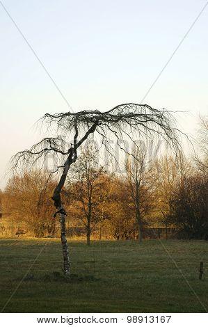 Fan-shaped birch