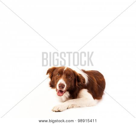 Cute brown and white border collie with empty space