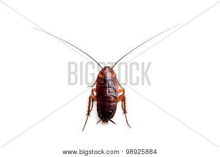 Little single upset cockroach isolate on white background