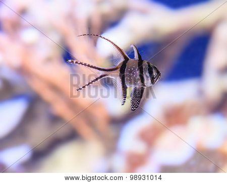 Banggai cardinalfish, Pterapogon kauderni