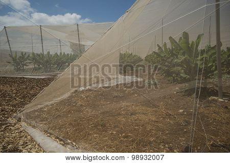 Banana plantation greenhouse