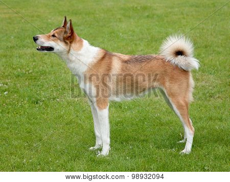The Portrait Of West-siberian Laika On A Green Grass Lawn