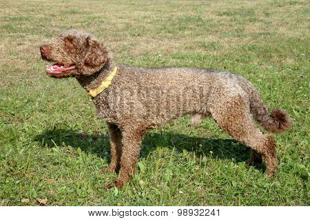 The Portrait Of Spanish Waterdog On A Green Grass Lawn