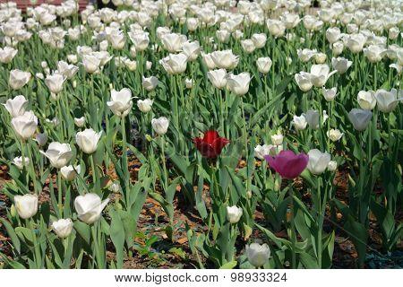White Tulip At Spring