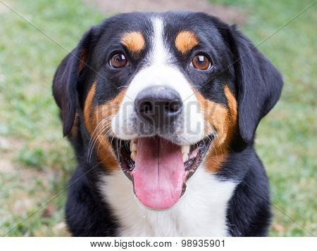 Young Sennenhund, Close-up