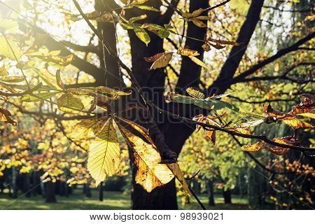 Autumn Chestnut Tree In Sunlight