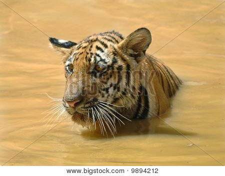 Juvenile Male Bengal Tiger Swimming In Lake, Thailand, Asia Cat Lion Leopard