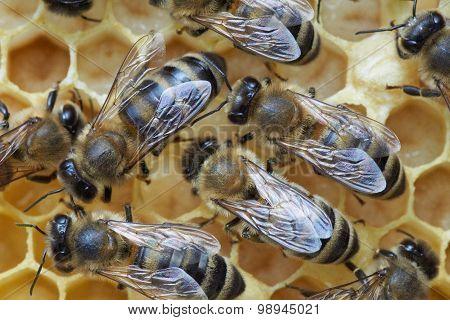 Honey Bees Over Larva