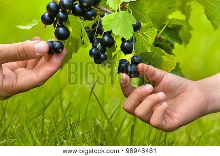 Two Hands, Child And Women, Picking Berries Of Black Currant