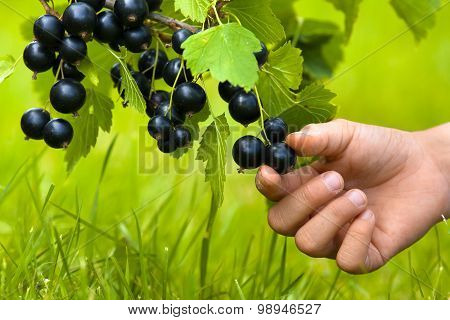 Child Hand Picking Berries Of Black Currant