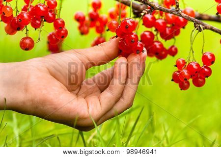 Picking Berries Of Red Currant