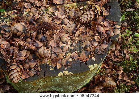 Forest Composition Of Spruce Cones On An Old Stump Blackened By Time