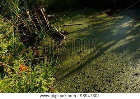 The Surface Of The Water In The Beaver Dam Forest River Covered With Duckweed