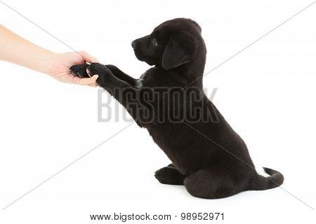 Beautiful black labrador puppy