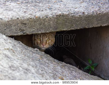 Stray Red Cat Peeking From The Slit