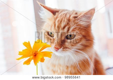 Ginger Cat Smells A Bright Yellow Flower. Cozy Morning At Home. Cute Background.