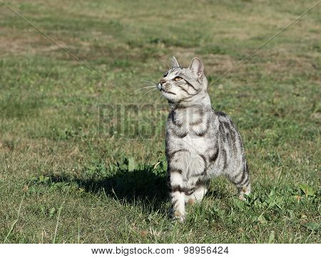 Wild cat in green grass background on cloudy day, serious cat outside, cat walking in the yard