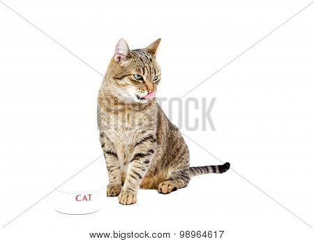Cat Isolated On White Licking.