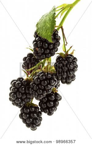 Blackberry branch isolated on white. Branch with ripe blackberries isolated on white background