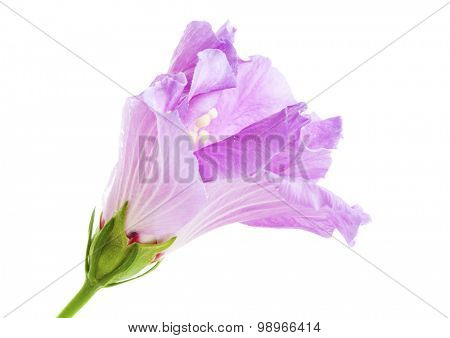 Hibiscus flower isolated. Side view of unfolding purple Hibiscus blossom isolated on white background