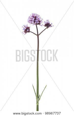 Mauve Verbena officinalis flowers on white background