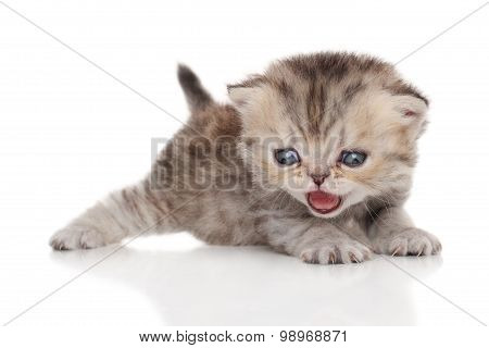 Persian Kitten On White Background