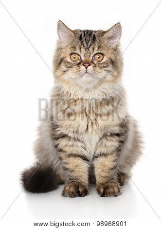 Persian Shorthair