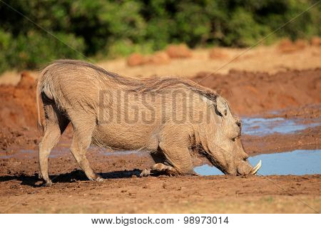 A warthog (Phacochoerus africanus) drinking water, South Africa